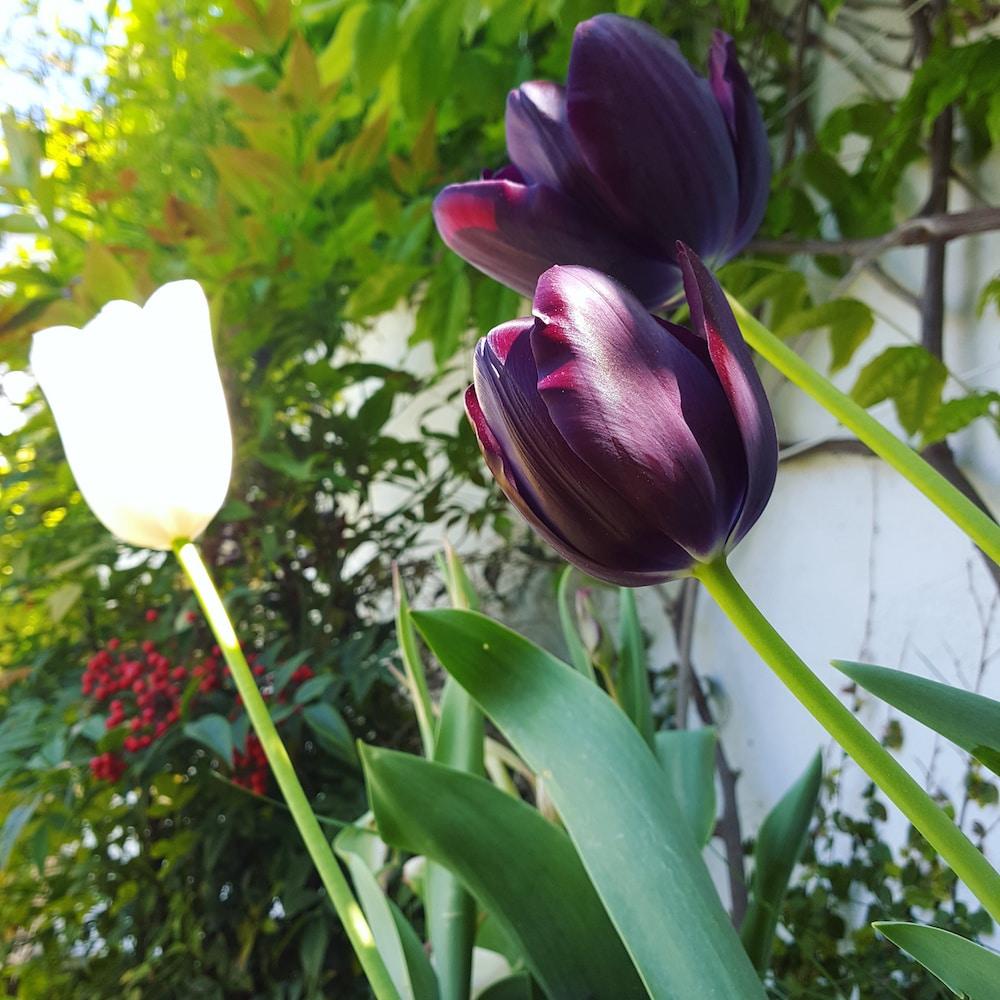 amsterdam_tulipes_petit